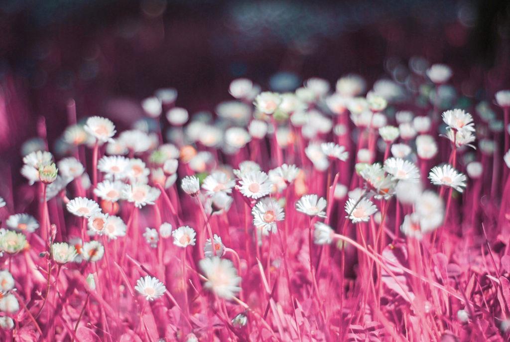 roze bloemenveld